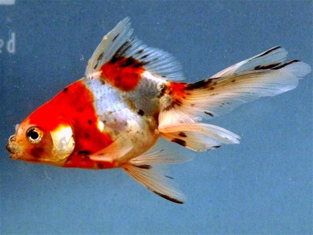 Fish moore water gardens for Calico koi fish